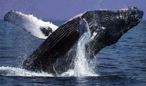 Como se llama el animal mamifero que vive más tiempo ballena de Groenlandia