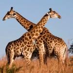 Como se llama el animal mas alto del mundo