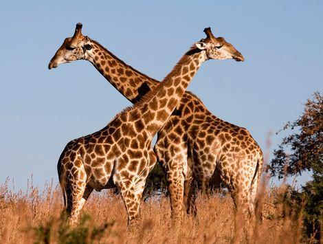 Como se llama el animal mas alto del mundo Jirafa