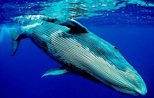 Como se llama el mamífero mas grande del mundo