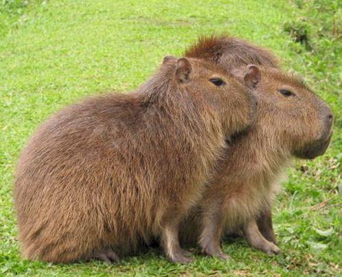 Como se llama el roedor de mas grande Carpincho