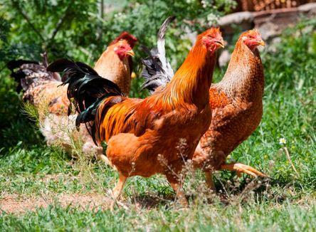 Como se llama un grupo de gallinas o pollos