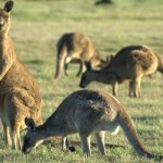 Como se llama a un grupo de canguros