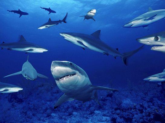 Como se llama a un grupo de tiburones Cardumen de tiburones