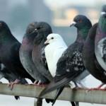 Como se llama el sonido que produce una paloma