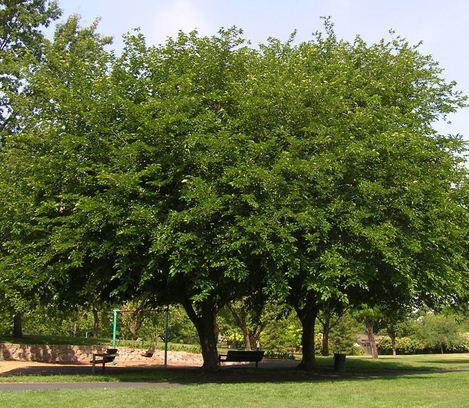 Como se llama la planta que da moras Morera
