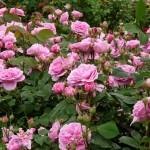 Como se llama un conjunto de rosas