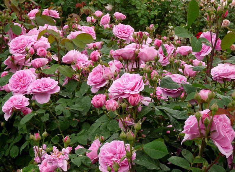 Como se llama un conjunto de rosas Rosedal