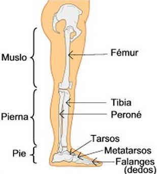 Como se llama el hueso más largo del cuerpo humano Fémur