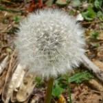 Como se llama la flor que soplas y vuela