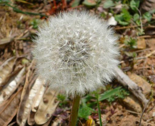 Como se llama la flor que soplas y vuela Diente de León