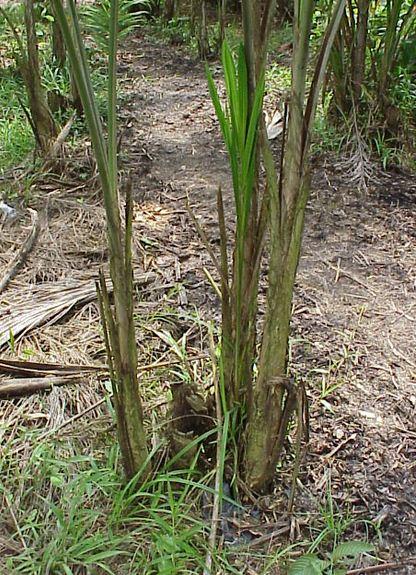 Como se llama la planta que da palmitos Palmera