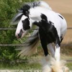 Como se llama la raza de caballos mas grande del mundo