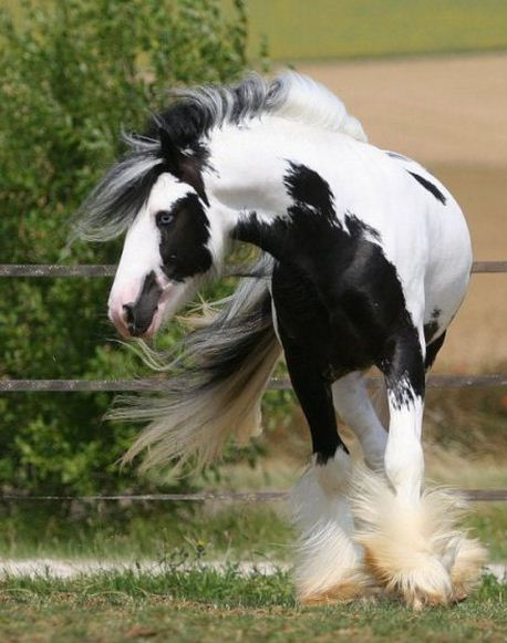 Como se llama la raza de caballos mas grande del mundo Shire