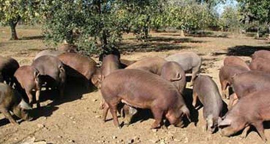 Como se llama un conjunto de cerdos Piara