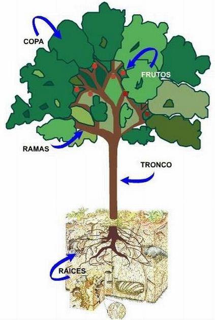 Como se llaman las partes de un árbol