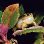 Como se llama el sonido que producen las ranas