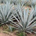 Como se llama la planta de donde se destila el tequila