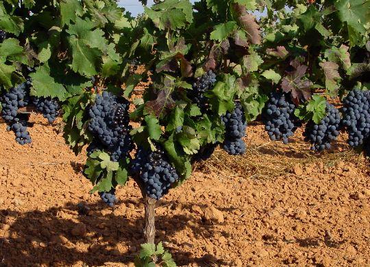 Como se llama planta de uva