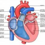 Como se llaman las partes del corazón humano