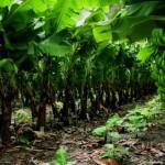 Como se llama la planta de banana