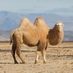 Como se llaman las jorobas de los camellos