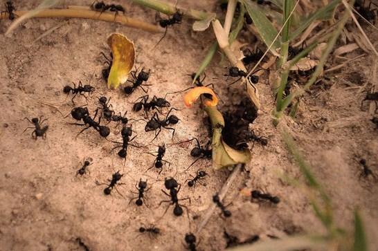 Como se llama un conjunto de hormigas