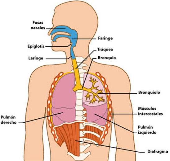 Como se llaman las partes del aparato respiratorio