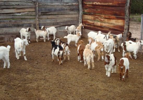 Como se llama la cria de la cabra