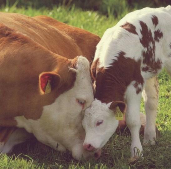 Como se llama la cria de la vaca