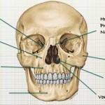 Como se llaman los 14 huesos de la cara