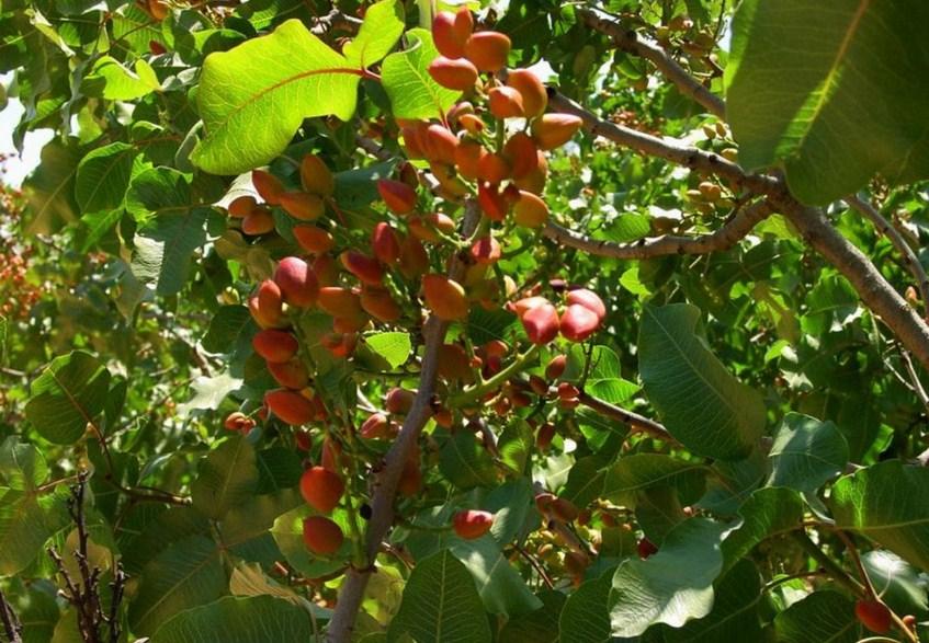 Como se llama la planta que da pistachos