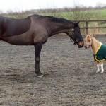 Como se llama la raza de caballos enanos