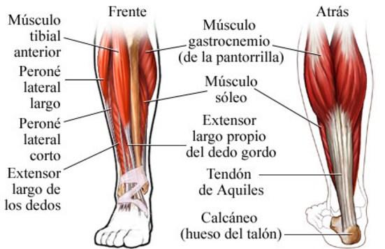Como se llaman los musculos de las piernas