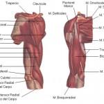 Como se llaman los musculos de los brazos