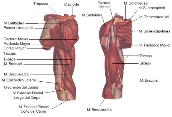 Como se llaman los musculos del brazo