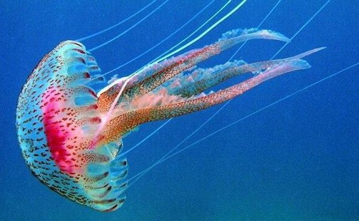 Como se llama el sombrerillo de la medusa - Como se alimentan las medusas ...