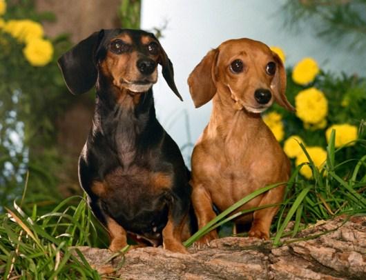 Como se llama la raza de perros salchicha