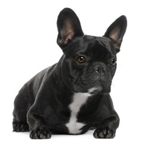 Como se llama la raza de perros que parecen murcielagos
