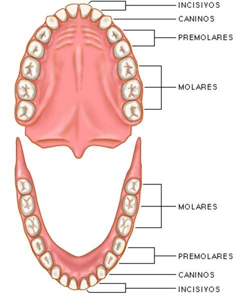 Como se llaman los dientes