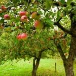 Como se llama el arbol de manzana