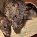 Cómo se llama el conjunto de ratas