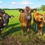 Como se le dice al conjunto de vacas