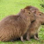 Como se llama el roedor de mas grande