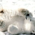 Como se llama la cría del oso polar