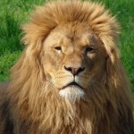 Como se llama la melena del leon
