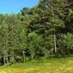 Como se llama un conjunto de pinos