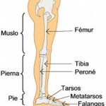 Como se llama el hueso más largo del cuerpo humano