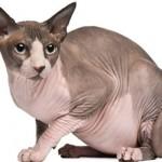 Como se llama la raza de gatos pelados