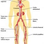 Como se llaman las arterias del cuerpo humano